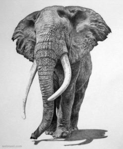 Realistic Pencil Drawings of Wild-life
